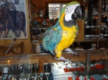 Sammy the Blue and Gold Macaw